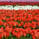 Hello Spring Red Flowers Free Download